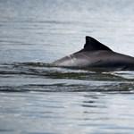 Most Argentínában pusztultak rejtélyes okokból a delfinek