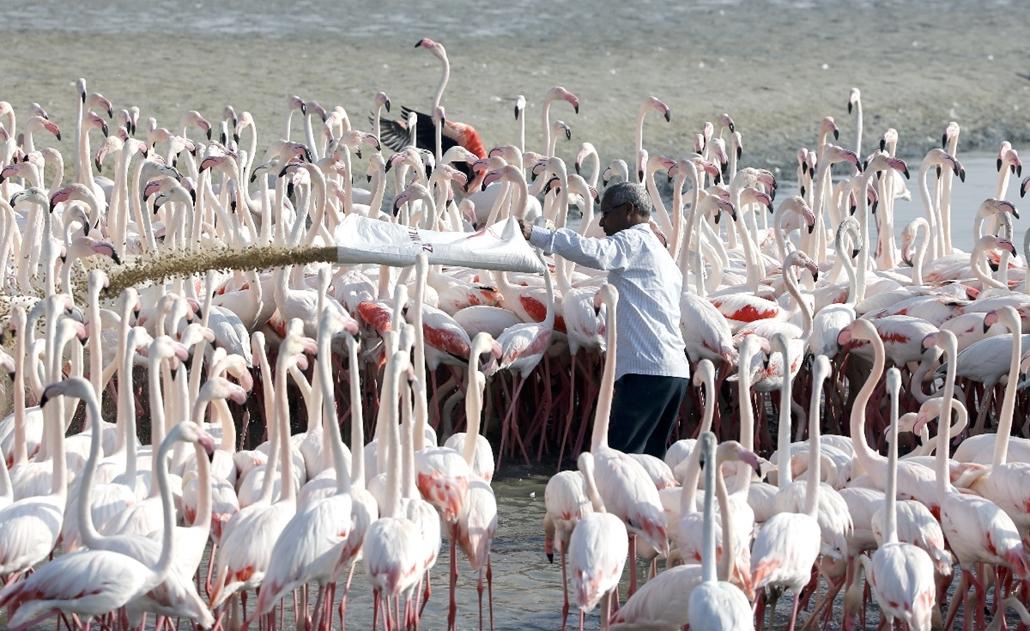 afp.15.01.28. - Dubai, Egyesült Arab Emirátusok: flamingók etetése a Ras al-Khor Vadrezervátumban. - flamingó, vadaspark, vadrezervátum, etetés, 7képei