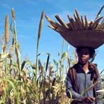 Jóval ellenállóbb az indiai köles a klímaváltozással szemben, mint a búza