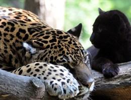 Egyre több oroszlánt, jaguárt és párducot ölnek meg, hogy eladják a részeiket