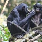 Az anya bonobó majmok intézik a barátnőt a fiaiknak