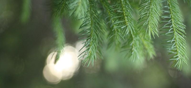 Nemsokára karácsonyfákkal fűt be az FKF