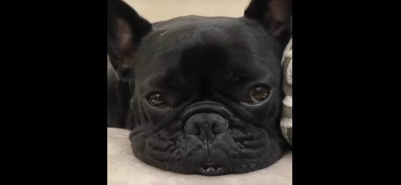 A francia bulldog volt a legnépszerűbb kutyafajta tavaly itthon