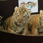 Szibériai kistigris hármasikrek születtek a Kecskeméti Vadasparkban