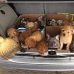 Újabb kutyahorror: csomagtartóba préselve csempésztek 31 kölyköt