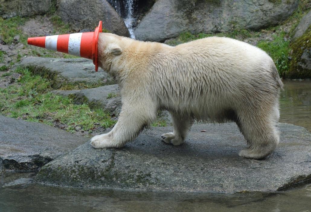 afp.14.12.09. - München, Németország: A müncheni Hellabrunn állatkert egyik jegesmedvéje játszik egy terelőbójával. A jegesmedveikrek, Nela és Nobby ezen a napon ünnepli első születésnapját - jegesmedve