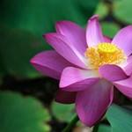 Virágba borult az SZTE Füvészkertjének tava