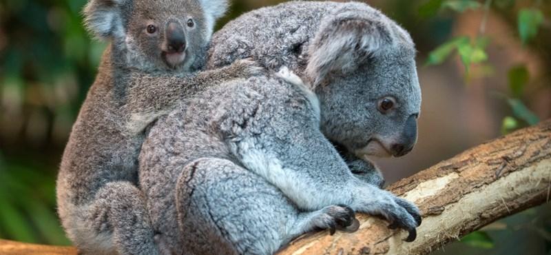 Már Budapesten vannak az állatkert új koalái