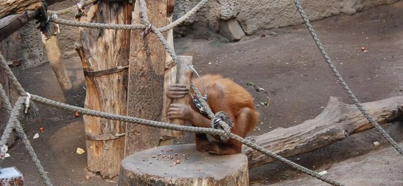 Los orangutanes descubren por sí mismos cómo