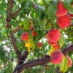 Milyen gyümölcsfát válasszunk kertünkbe?