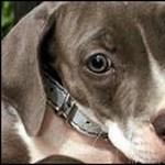 Kiskutyákba varrva csempészte a drogot egy latin-amerikai állatorvos