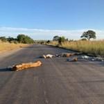 Oroszlánok vettek vissza egy dél-afrikai utat, ahol korábban emberek jártak