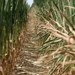 Fazekas: ezer hektárnyi GMO-kukoricát semmisítettünk eddig meg