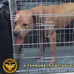 Véresre marcangolták egymást a kutyák a mohácsi állatviadalon, elítélték a szervezőket