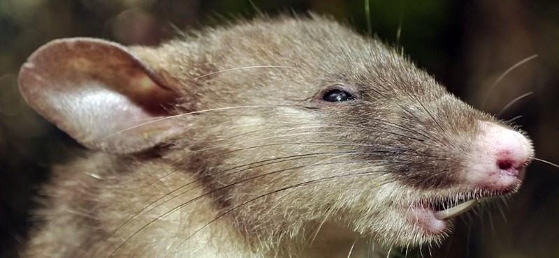 Hadban állnak a patkányokkal New Yorkban