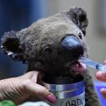 25 ezer koala pusztulhatott el a tűzben a Kenguru-szigeten