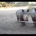 Cukiság riadó: sosem gondolnád, hogy ilyen egy bébi rinocérosz hangja (videó)