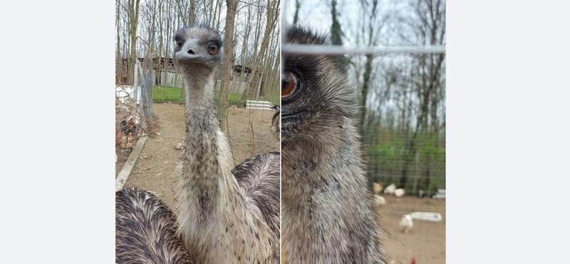 Kedd óta keresnek egy elszökött emut Baja környékén