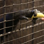 Ádám és Éva megszökött az állatkertből, tragédia lett a vége