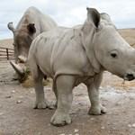 Botswanába mehetnek az orrszarvúk, az elefánt viszont Új-Zélandra nem