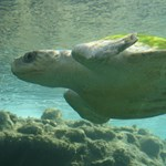 Videó: 30 centis műanyagzacskót húztak ki állatorvosok egy teknős fenekéből