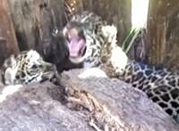 Videón, ahogy szabadon engednek egy jaguárcsaládot Argentínában