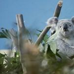Küzdenek az állatkerti koala életéért, nincs látogatás a Koalaházban