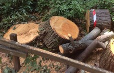 Józsefvárosban drágán megfizet, aki kivág egy idős fát