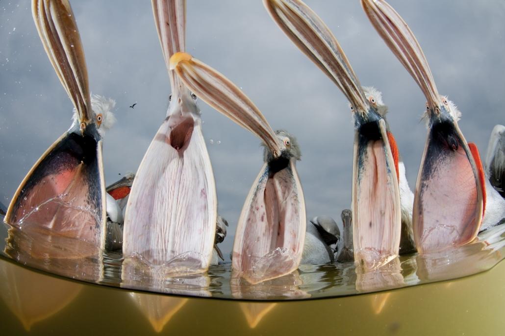 NE használd_! - Budapest Water Summit 2016 - Az éhes pelikáncsapat (Görögországi, Kerkini-tó)