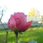 Van rózsa tövis nélkül