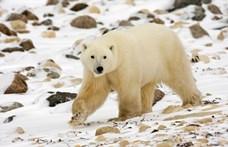 Alaposan eltévedt egy oroszországi jegesmedve