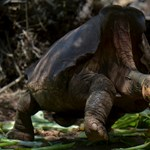 Visszavonul Diego, a szexuálisan túlfűtött galápagosi óriásteknős