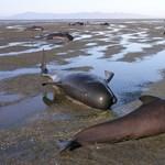 Folytatódik a rejtélyes hullám: újabb delfinek vetődtek partra