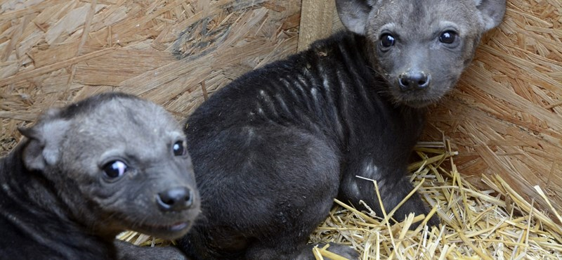 Fotók: Sosem gondolta volna, hogy ennyire cukik is lehetnek a hiénák