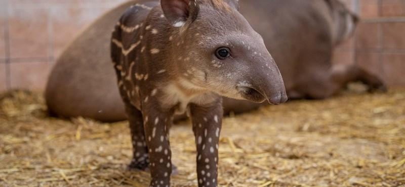 Fotó: Pöttyös lábú tapírbébi született Debrecenben