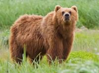 Embert ölt a medve Székelyföldön