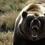 Videó: egy farkas nézte, ahogy két medve összeverekedett az út közepén