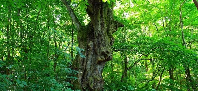 Fotó: magyar hársfa is esélyes az Év Fája-díjra