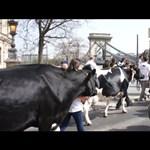 Egy tehén is nyilatkozott a hvg.hu-nak – videó