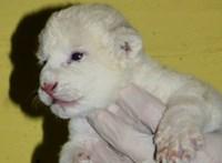 Újabb fehér oroszlán született Szegeden