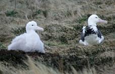 Drónok helyett albatroszokat küldenek harcba a halrablók ellen