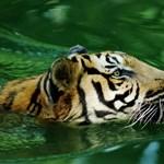 Gondozója mindkét karját leharapta egy tigris Vietnamban