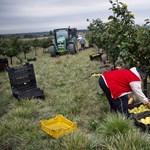 Új márkanévvel akarják megmenteni a szabolcsi almát