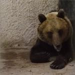 Szabadon engedték a Sándorfalván befogott medvét