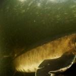 88%-kal csökkent a nagytestű édesvízi fajok populációja 1970 óta