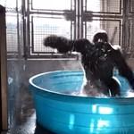 A Flashdance-re táncoló dallasi gorilla a legjobb kedélyjavító – videó