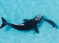 Igen ritka mélytengeri delfineket mosott partra a víz Ausztráliában, ráadásul kettőt is