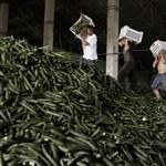 36 ezer euró kompenzáció jár egy hektárnyi le nem szedett uborkáért