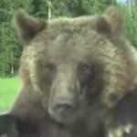 Kilométereken át utazott és rikoltozott egy kukásautó tetején az éhes medve