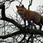 Fotók: Fára másztak a Hortobágyi Nemzeti Park rókái